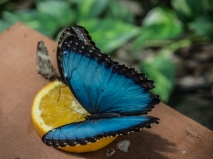 Blue Morph The Butterfly Farm, Orangestad, , Aruba, © 2016 Bob Hahn, Olympus OM-D OLYMPUS M.12-40mm F2.8 at 40 mm, ISO: ISO 400 Exposure: 1/250@f/4