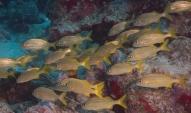 Smallmouth grunt Bali Reef, Oranjestad, Aruba, © 2016 Bob Hahn, OLYMPUS M.12-40mm F2.8 at 40 mm, ISO: ISO 400 Exposure: 1/160@f/9
