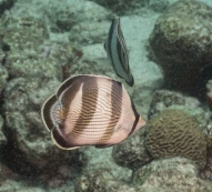 Sargent major Bali Reef, Oranjestad, Aruba, © 2016 Bob Hahn, OLYMPUS M.12-40mm F2.8 at 40 mm, ISO: ISO 400 Exposure: 1/160@f/9