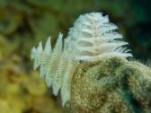 Tubeworm Mas Bango Reef, Oranjestad, Aruba, © 2016 Bob Hahn, OLYMPUS M.60mm F2.8 Macro at 60 mm, ISO: ISO 400 Exposure: 1/125@f/9