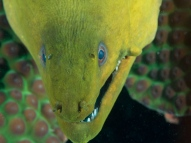 Green moray Mas Bango Reef, Oranjestad, Aruba, © 2016 Bob Hahn, OLYMPUS M.60mm F2.8 Macro at 60 mm, ISO: ISO 400 Exposure: 1/125@f/9