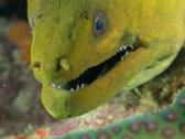 Green moray Mas Bango Reef, Oranjestad, Aruba, © 2016 Bob Hahn, OLYMPUS M.60mm F2.8 Macro at 60 mm, ISO: ISO 400 Exposure: 1/125@f/9